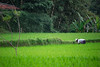 risaia a Bali