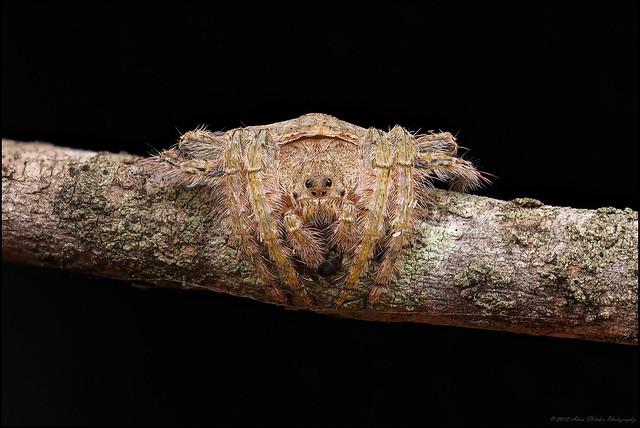 Wraparound Spider