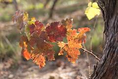 Pied de vigne et couleurs des feuilles d'automne