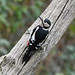 Great Spotted Woodpecker at Warnham Nature Reserve