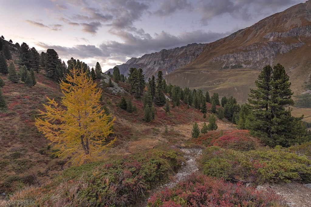 Golden larch - Albulapass