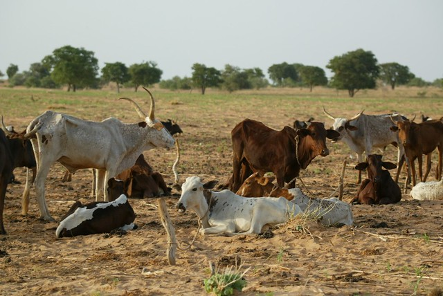 Cattle in a crop field in Niger