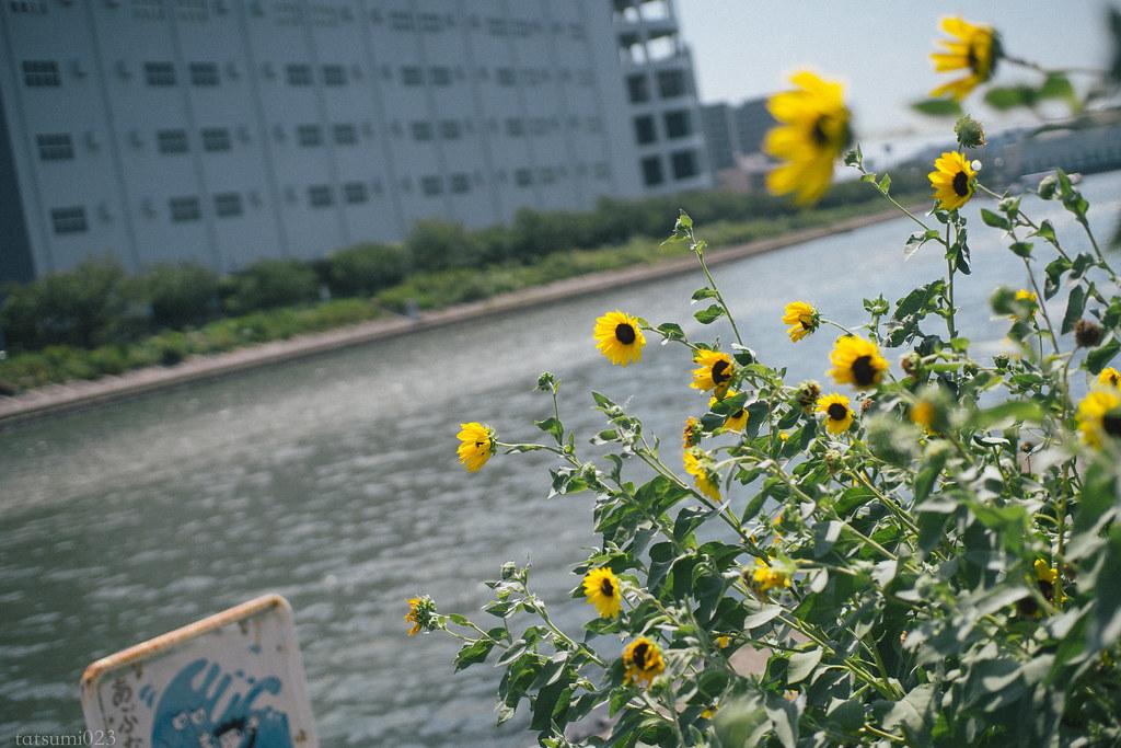2018-09-05 勝浦運河のコスモス 007