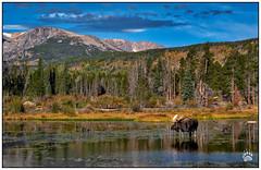 RMNP Moose 091118-03197-W.jpg