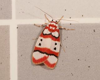 Lichen Moth (Cyana sp., Lithosiini, Arctiinae, Erebidae)