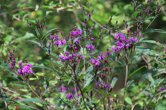 New York Ironweed (Vernonia noveboracensis (Linnaeus) Michaux) 08-30-2018 Warrior Mt. WMA--Ruby Road at creek n. of campground, Allegany Co. MD 1