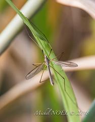 tipule des prairies (Tipula paludosa) : Michel NOËL © 2018-5494.jpg