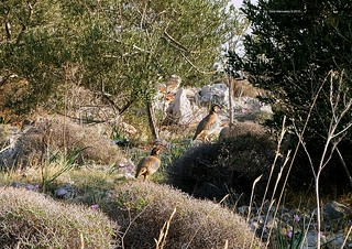 Partridges in Athens