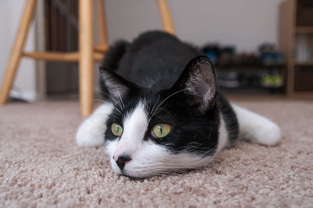 Our cat Boo relaxes in his chicken-wing pose on the carpet in our rental house in Scottsdale, Arizona