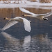 Trumpeter Swan 010818f copy