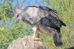 Los Angeles Zoo Harpy Eagle, thinking. DSC_0030
