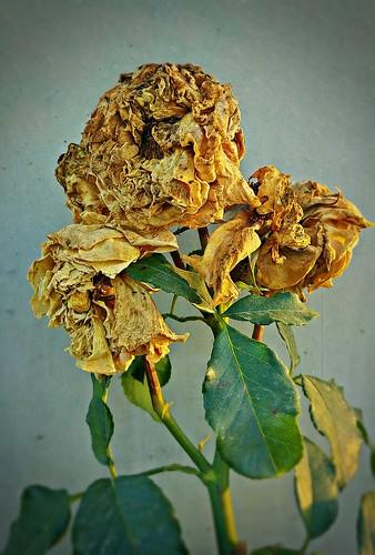Eine Rose war eine Rose war eine Rose