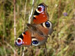 Paon du jour - European Peakock butterfly