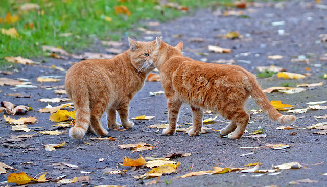Nose-to-Nose.  🐈🐈  Meow... Meow... Autumn cats. Finland.