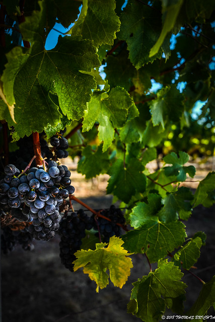 Sun on the Grapes