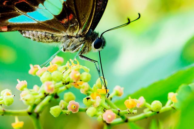 Common Bluebottle sucking nectar of Yabu Garashi (Cayratia japonica) : ヤブガラシの蜜を吸うアオスジアゲハ