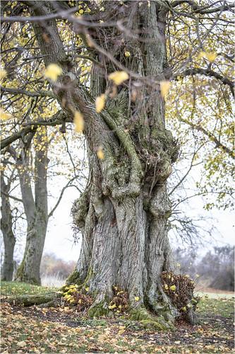 old tree .