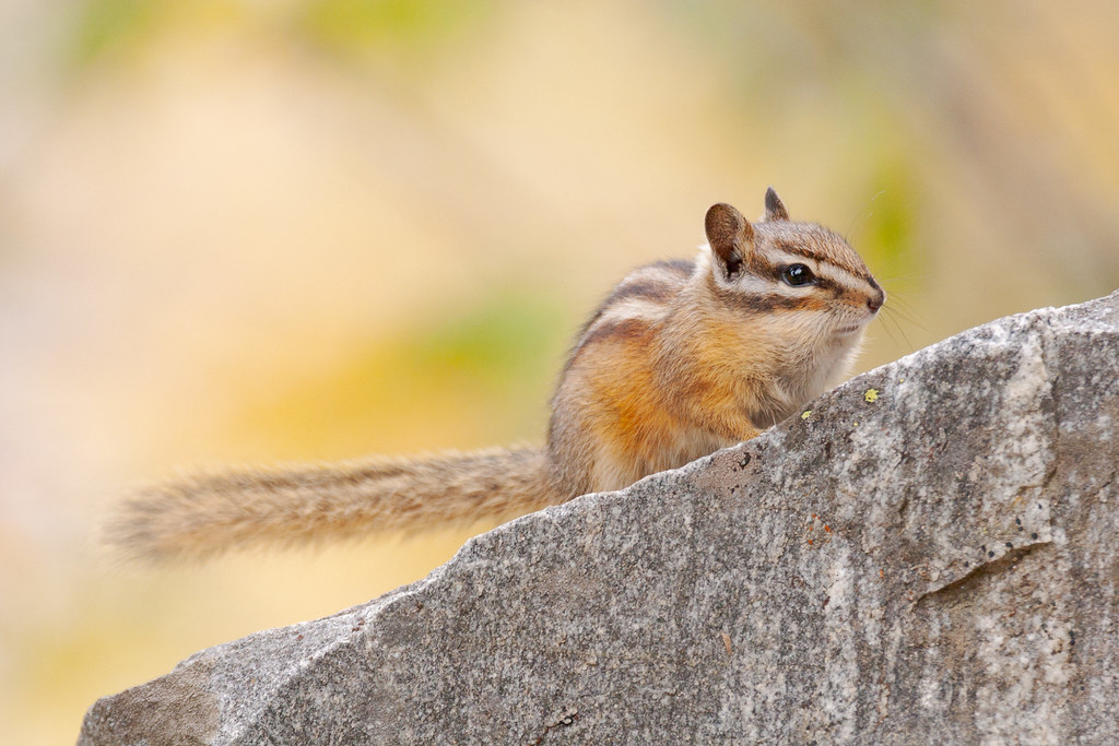 A chipmunk perches on a rock with its tail sticking straight out behind it on the trail to Death Canyon in Grand Teton National Park in Wyoming