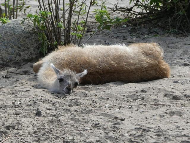Guanako, Zoo Givskud