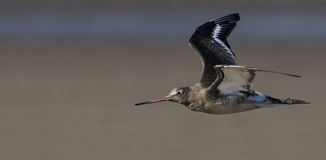 Godwit - Beach Skimmer