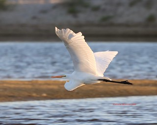 Great egret crossing the lagoon