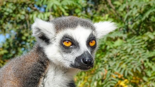 Portrait lémurien - 5928