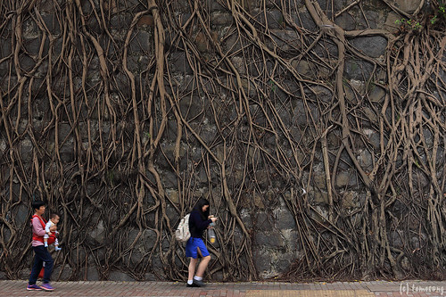 Stone wall trees in Kennedy Town