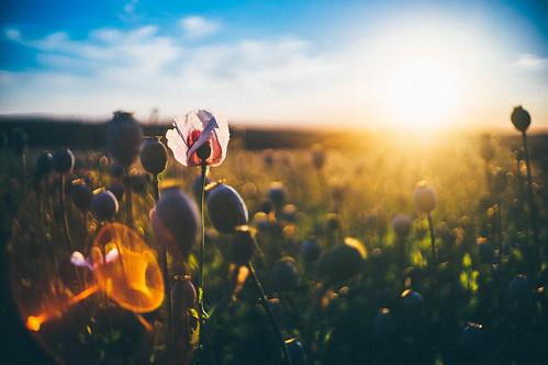 #299 - Poppies / Máky