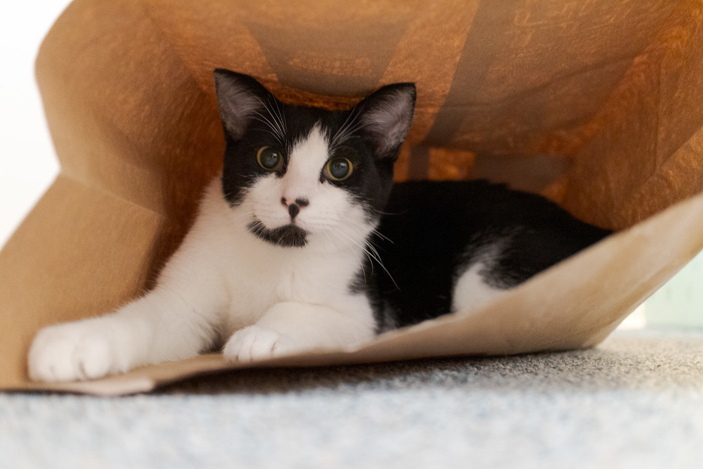 Our kitten Boo plays at the bottom of a paper bag