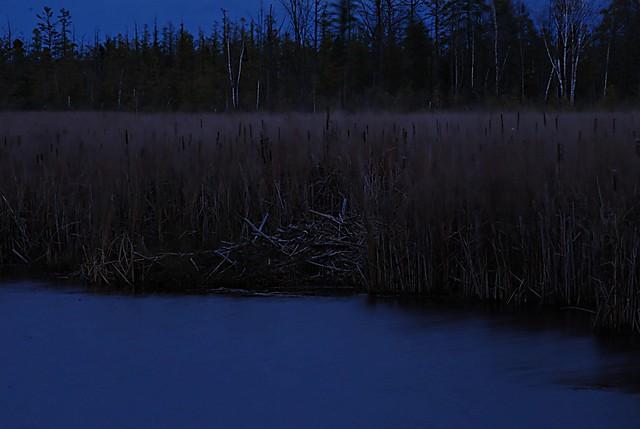 Beavers dam at Mer Bleue