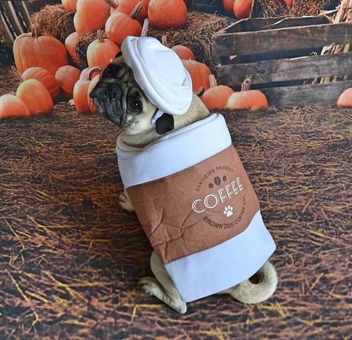 Pumpkin Pug Spiced Latte Anyone?