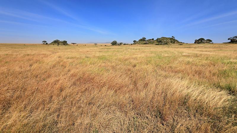 Serengeti grass