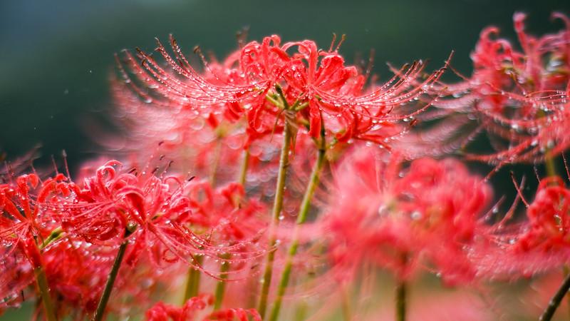 Amaryllis of rain