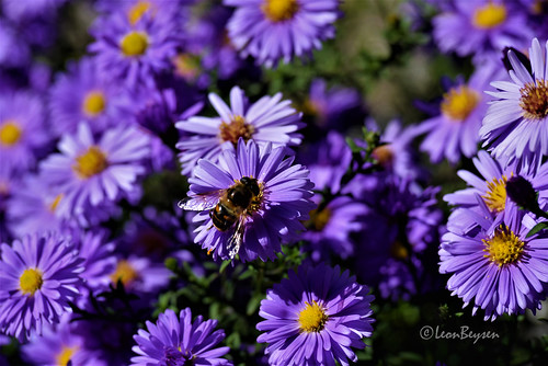 0163 Asters