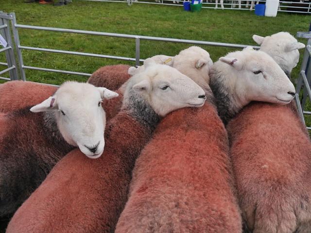 Herdy Herd Herding, Panasonic DMC-G6, LUMIX G VARIO 14-140mm F3.5-5.6