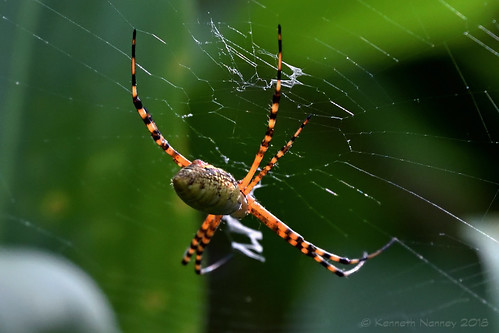 BANDED ARGIOPE 7
