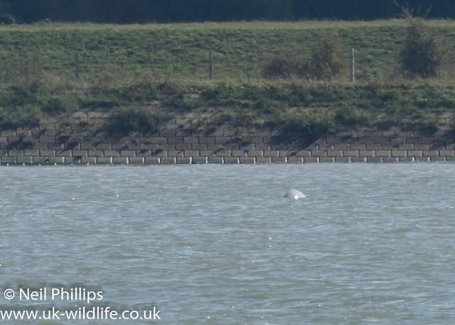 Thames beluga whale-2