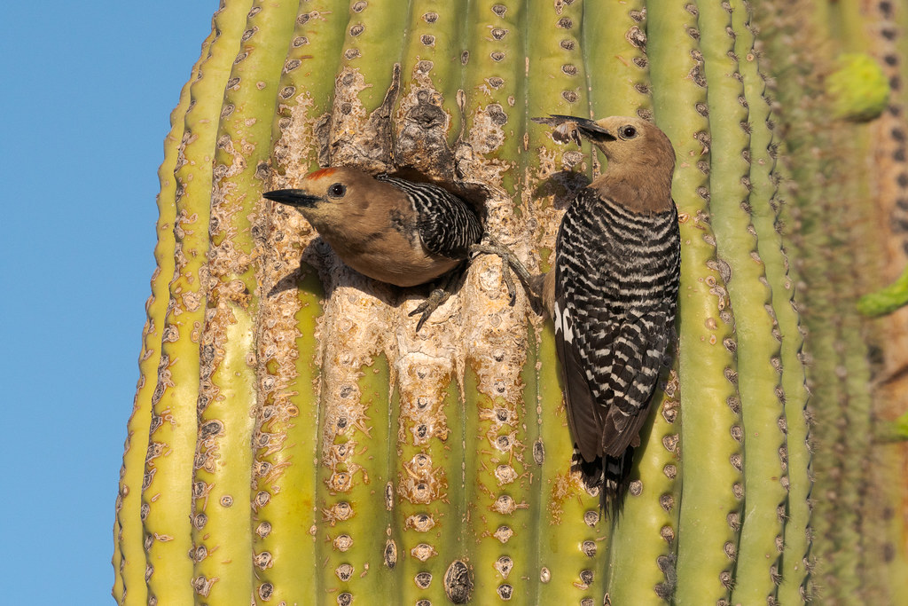 A female Gila woodpecker brings a moth to the nest in an old saguaro as the male prepares to leave near an Off-map Trail in McDowell Sonoran Preserve