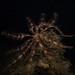 Feather Star (Antedon petasus)