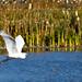 Egret Passing