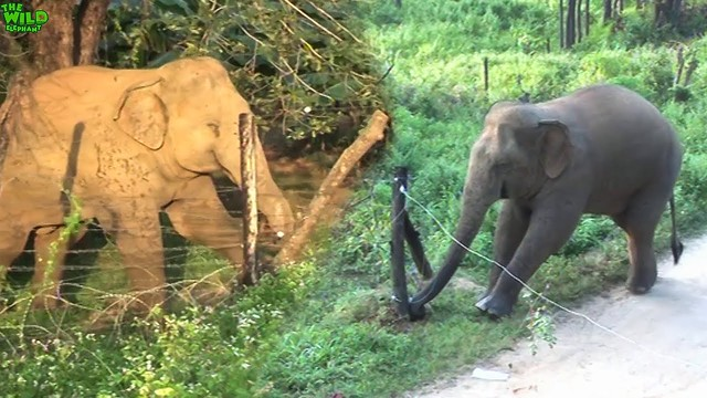 Elephants vs. Electric Fences. Amazing Intelligent Animals
