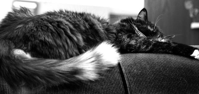 Lazy, evil cat