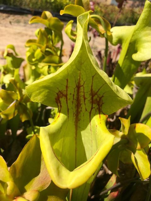 Sarracenia flava x purpurea backcross; Strange World Carnivores collection, NSW.
