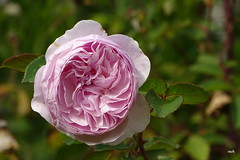 dernière rose de l'année - Photo of Villamée