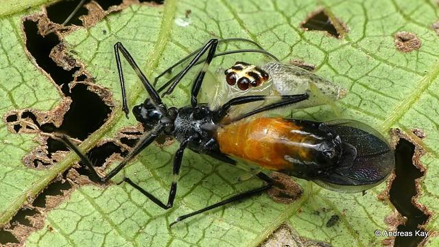 David against Goliath: Jumping Spider kills Assassin bug