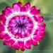 Helichrysum bracteatum, 8.1.17