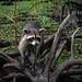 Louisiana Swamp  Racoon