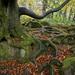 Beech in Padley Gorge by Keartona