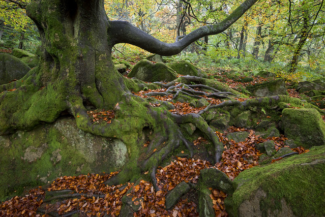 Beech in Padley Gorge