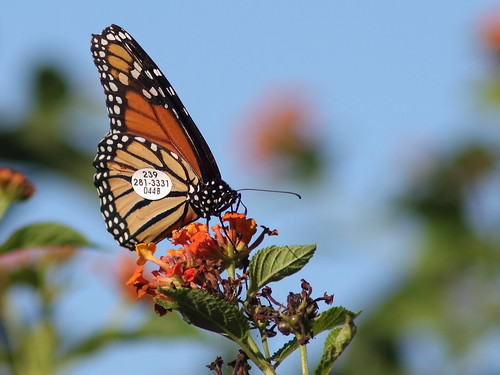 Monarch butterfly tagged 20181025